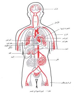 الدم في جسم الإنسان1